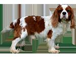 Allevamento di cani Cavalier King in Sicilia a Ragusa